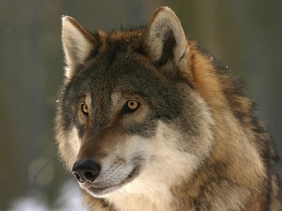 В Республике Коми автобусный маршрут пришлось изменить из-за агрессивности волков