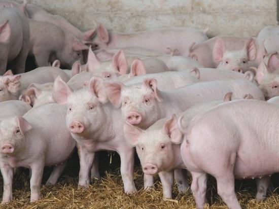 10 очагов чумы свиней зарегистрировано в Еврейской автономии