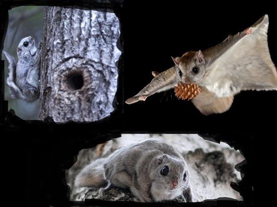 Учёные обнаружили в Кенозерском парке присутствие редкой летучей белки