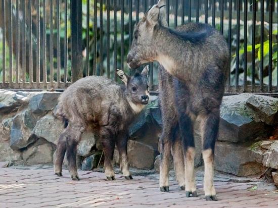 В Новосибирском зоопарке у молодой пары горалов появился малыш