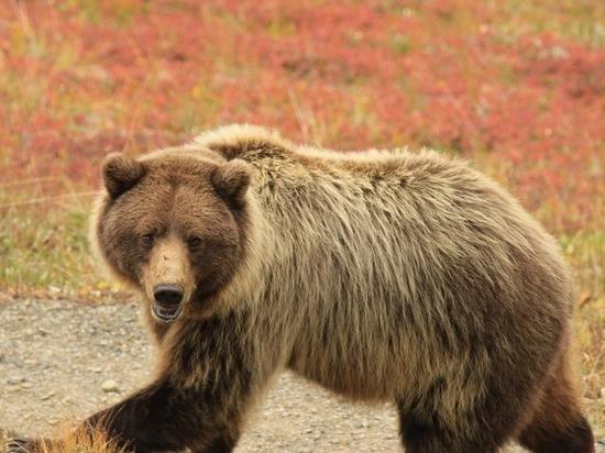 Вышедшего в Ингодинский район медведя убили в Чите