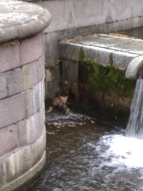 Турист вытащил из фонтана в Петергофе лису-неудачницу
