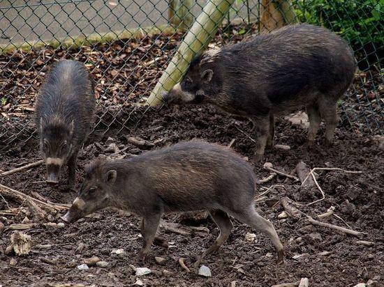 Свиней впервые застали за применением орудий труда: опубликовано видео