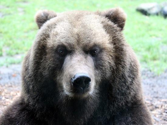 Забайкальцам рассказали, как выжить при встрече с медведем