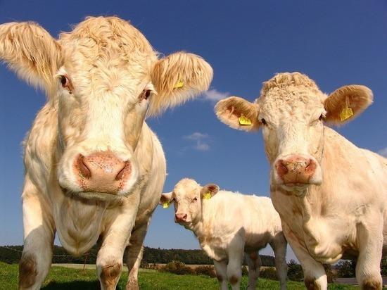 Придуман необычный способ защитить коров от насекомых