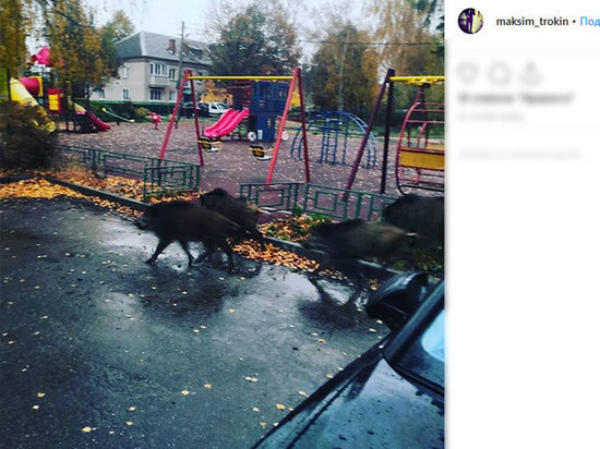 В Пушкино стадо диких кабанов забежало на детскую площадку