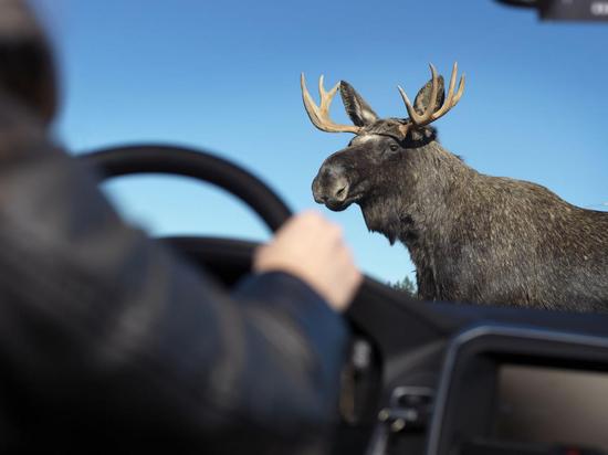 В Тверской области лось на дороге стал причиной ДТП