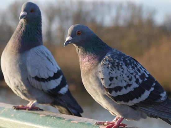 Новосибирцев призывают морить голубей голодом – это гуманно