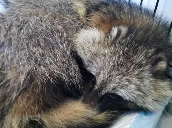 Сотрудники центра «Велес» спасают выловленную из Невы енотовидную собаку