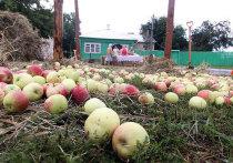 Небывалый урожай яблок в России сдадут на корм свиньям