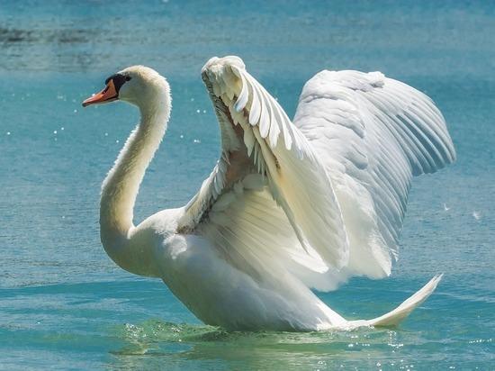 Неизвестный открыл огонь по стае лебедей недалеко от усадьбы Марьино