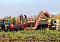 На Ямале урожай картофеля превысил прошлогодний на 50 тонн