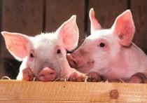 Человеку впервые пересадили кожу ГМО-свиньи