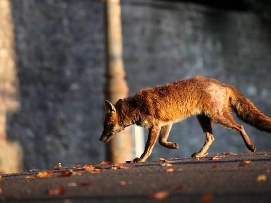 Нашествие лис в Ивановской области: специалисты бьют тревогу