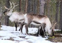 Минприроды потребовало принять срочные меры по спасению диких северных оленей
