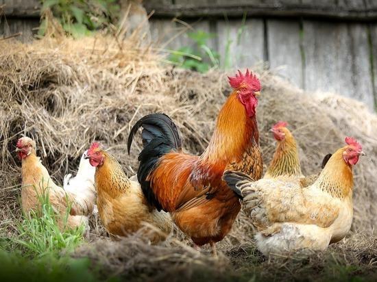 Российские ученые нашли способ выращивать кур без антибиотиков