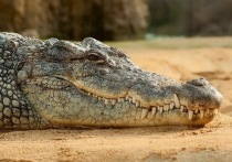 Мертвый сельский крокодил: защита диких животных в России провалилась
