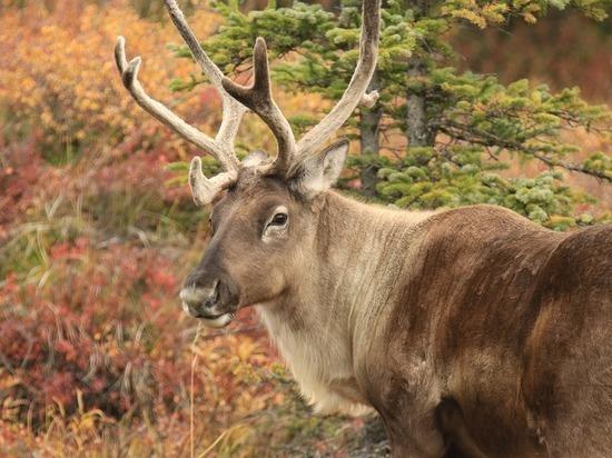 Минприроды призвало ввести полный запрет охоты на северных оленей
