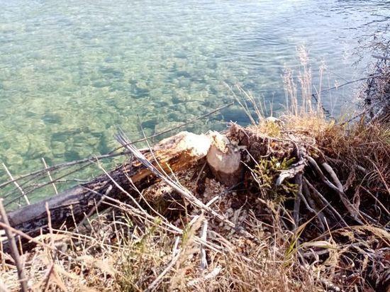 Банда речных бобров погрызла деревья в Горном Алтае