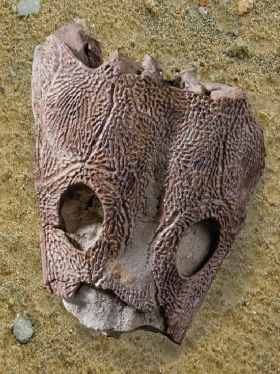В Ярославской области найден череп предшественника динозавров