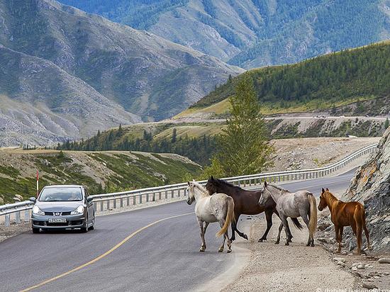 На трассе в Хакасии автомобиль сбил лошадь насмерть