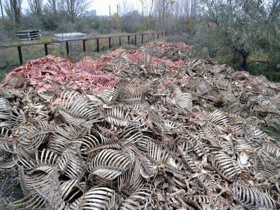 Жители Абакана, гулявшие вдоль реки за Северной дамбой обнаружили кучу коровьих скелетов, которые валяются в 300 метрах от воды