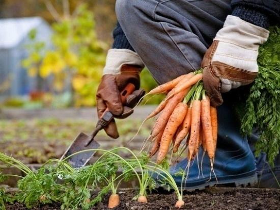 Все овощные культуры убраны в Серпухове