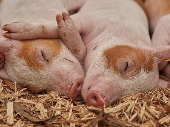 На Ставрополье в Труновском районе утилизируют свиней из-за африканской чумы