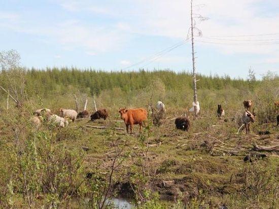 Калмыцкие коровы обживают земли Северного Ледовитого океана