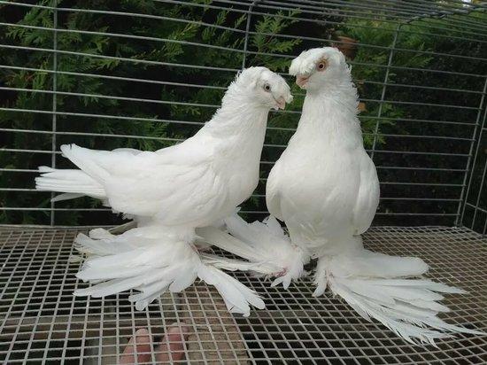 В Тамбовской области покажут редких голубей