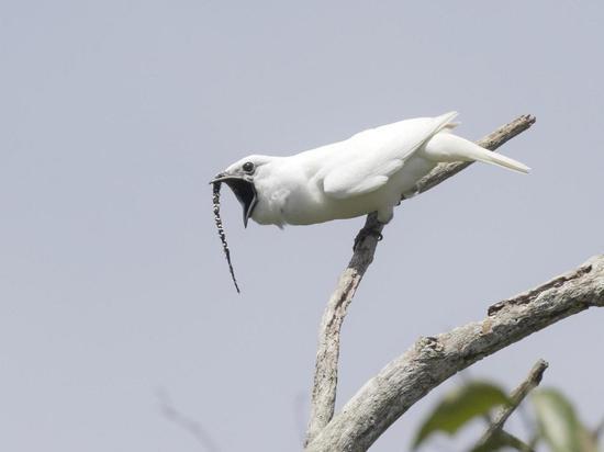 Громче самолета: обнаружена самая шумная птица на планете