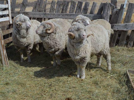 Программу поддержки овцеводства в Забайкалье изменят
