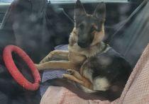 Хозяйка пятимесячного щенка немецкой овчарки по кличке Дара призналась, что не желала зла животному