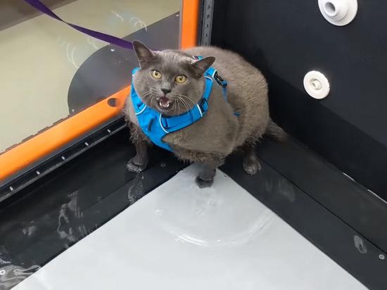 Толстая кошка на беговой дорожке стала звездой интернета