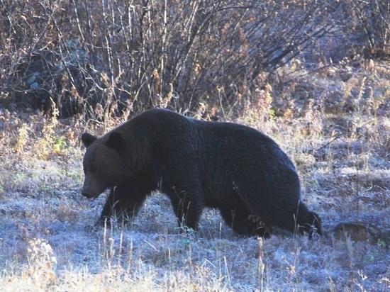 Директор заповедника в Забайкалье рассказал о встрече с медведем в тайге