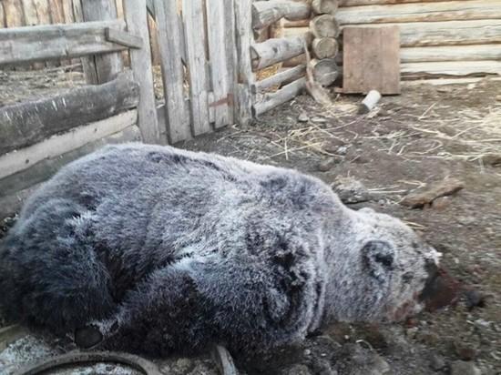 Медведь напал на охотника в красночикойской тайге
