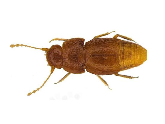 В честь Греты Тунберг назвали новый вид жука