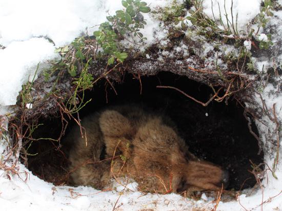 Вернуть зимнюю охоту на медведей хотят в Минприроды Забайкалья