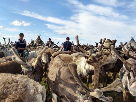 В 2020 году на Ямале увеличится социальная выплата для оленеводов-кочевников