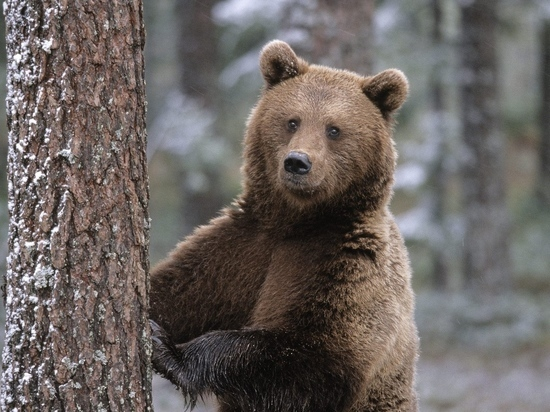 Добровольцы объявили о приеме рыбы для медведей в Забайкалье