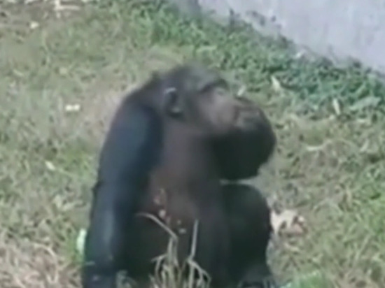 Закурившая сигарету в зоопарке шимпанзе стала звездой сети