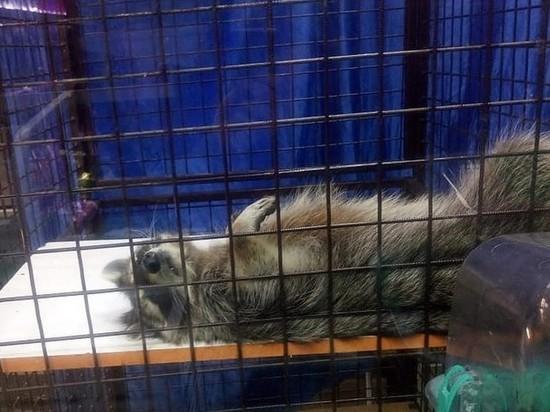 Барнаульский енот мучается в зоомагазине, а его никто не покупает
