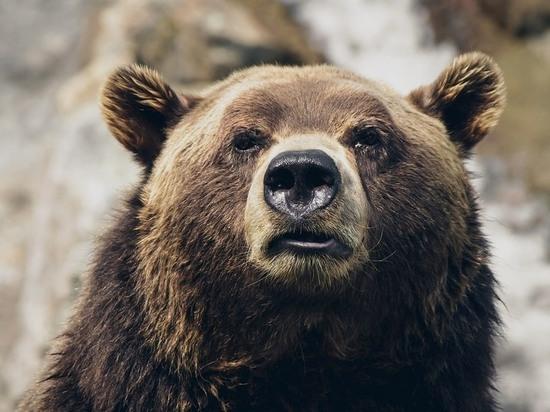 Собаки загнали медведя в лес под Читой - очевидцы
