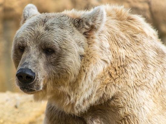 Жителей Смоленки предупредили о появлении в селе медведя