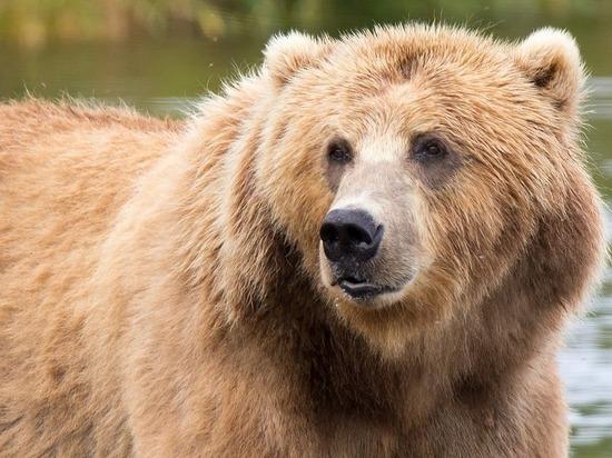 Забайкалец потребовал запретить волонтерам кормить медведей