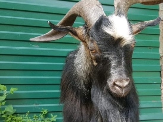 Умер козел Тимур, друживший с тигром Амуром