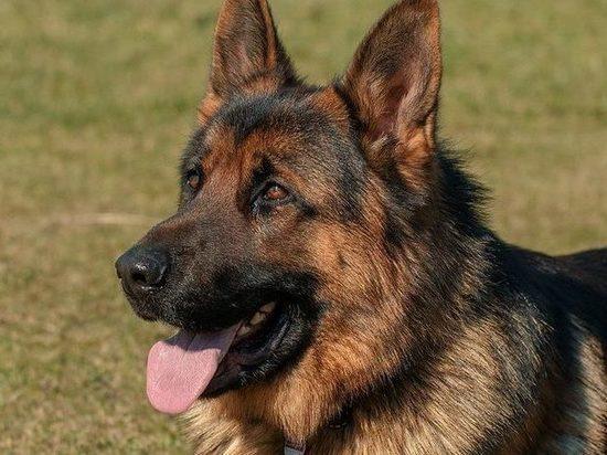 Под Воронежем полицейская собака задержала разбойника