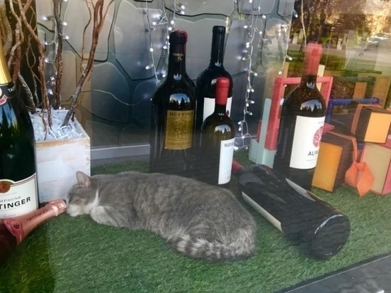 В Волгограде спящий кот в витрине магазина растрогал горожан