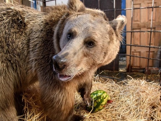 Во дворе краснодарской многоэтажки живёт медведь: его пообещали пристроить в зоопарк