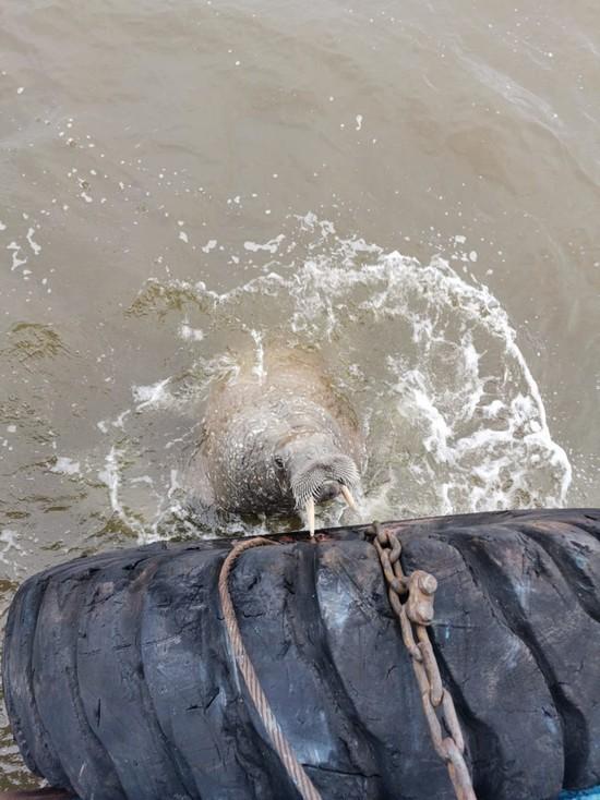 «Лютая зверюга!»: на севере края экипаж теплохода заснял моржа